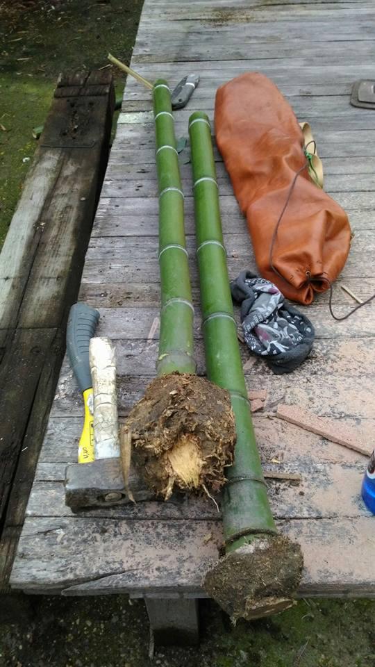 Bambù madake appena raccolto